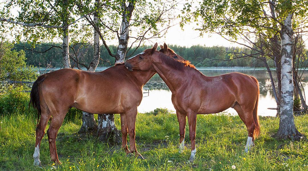 Laadukasta ratsastuksen opetusta - Tampere ja Kangasala